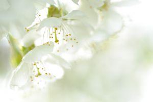 Kirschblueten